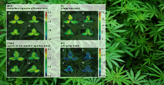 Cannabis plant phenotyping