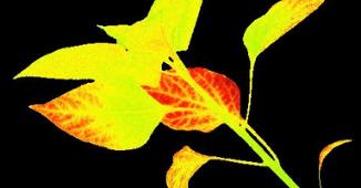 Plant PSII