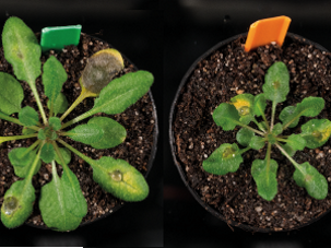 The missing link in the 'safe signal' of plants